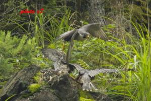 飛び立つ親鳥