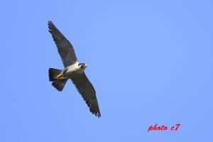ハヤブサ成鳥