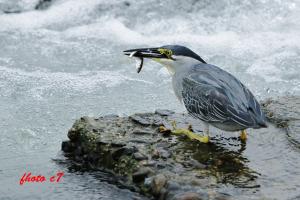 ササゴイの漁